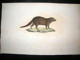 Saint Hilaire & Cuvier C1830 Folio Hand Colored Print. Vansire Mongoose